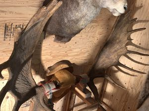 Moose antlers for Sale in Tucson, AZ