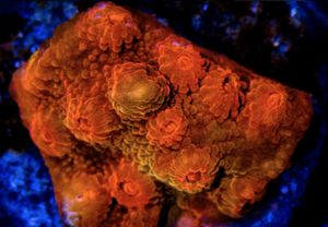Red Dragon Cyphastrea Frags for Sale in Hialeah, FL