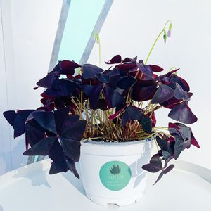 Oxalis Triangularis Plant for Sale in Los Angeles, CA
