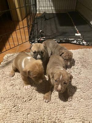 Pit bull red nose, there 2 months old for Sale in Phoenix, AZ