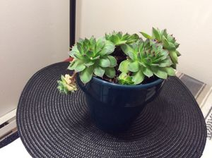 Succulent plant for Sale in Salem, OR
