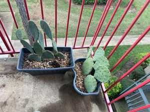 Cactus for Sale in Irving, TX
