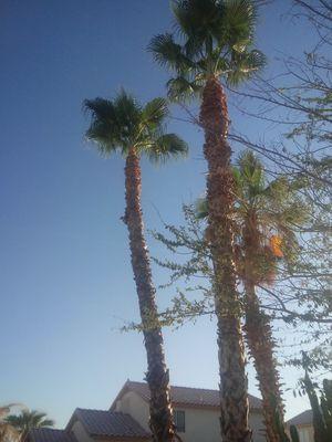 Palm tree for Sale in Glendale, AZ