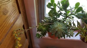 Succulents Well Established Plants for Sale in Hilliard, OH
