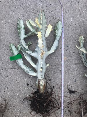 "Euphorbia Lactea - ""F"" for Sale in Los Angeles, CA"
