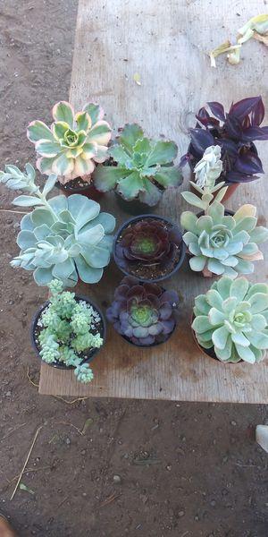 Plant succulent bundle for Sale in San Marcos, CA