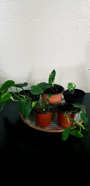 5 live baby plants in 4 inch diameter pots for Sale in Chandler, AZ