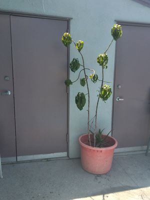 HASS AVOCADO TREE $35 for Sale in Long Beach, CA