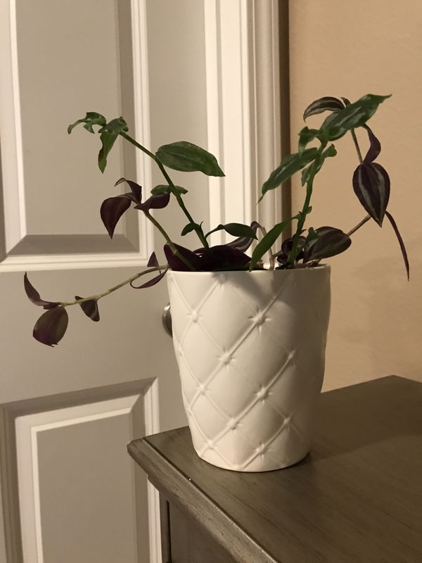 "Tradescantia zebrine and green petsafe house plant in a beautiful 5,5""H textured flower pot."