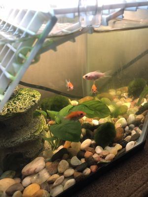 1-4 Free Gold fish kids pet / 1-4 free feeder goldfish for Sale in Richmond, VA