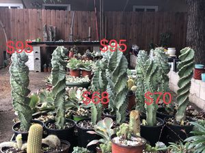 """Cereus Forbesii spiral, from 8"""" to 18"""" for Sale in Cypress, CA"""