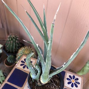 Agave Succulent Plant RARE Xylonacantha Sawtooth for Sale in Chandler, AZ
