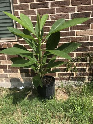 Plumeria plant in 3 gal pot for Sale in Irving, TX