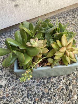 Succulent in ceramic pot for Sale in Federal Way, WA