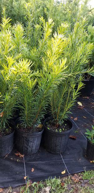 Podocarpus for Sale in Miami, FL