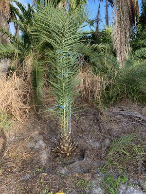 Palm tree field grown for Sale in Pembroke Pines, FL