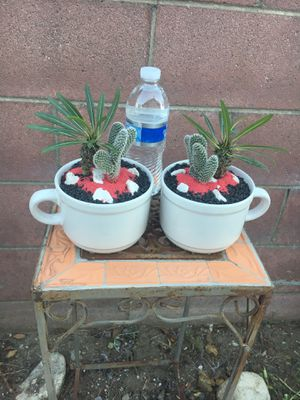 Two beautiful cups with Madagascar palm Cactus for Sale in Bloomington, CA