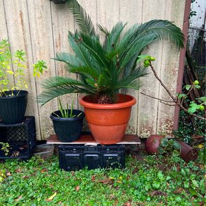 Outdoor Plant (plastic Pot) for Sale in Houston, TX