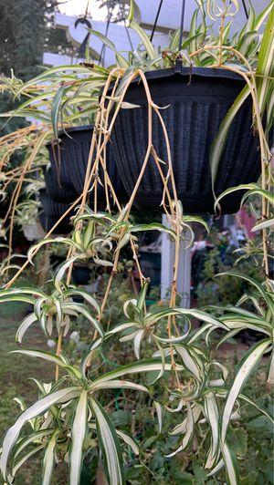 Spider plants in pot decorative green plants for Sale in Altadena, CA