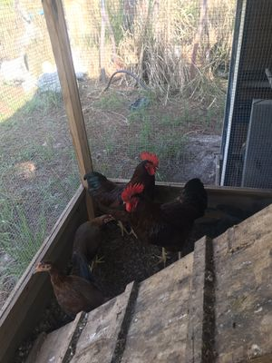Rooster for Sale in Naples, FL