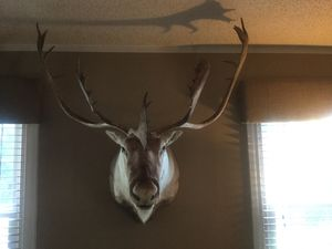 Taxidermy - Huge Beautiful Caribou for Sale in Medford, NJ