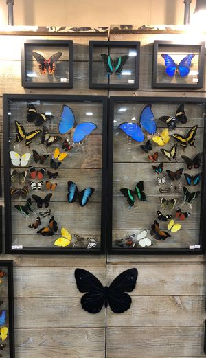 48 count real butterfly art two 15x24 frames for Sale in South Padre Island, TX