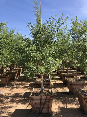 Trees & Plants for Sale in Avondale, AZ