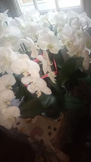 10 natural Orchid plant flowers for Sale in Bowie, MD
