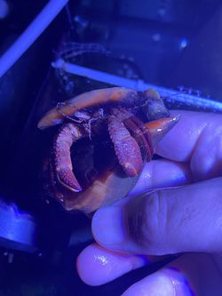 Large Hermit Crab for Sale in Orlando,  FL