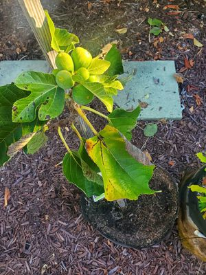 fig trees all fruiting! for Sale in San Leandro, CA