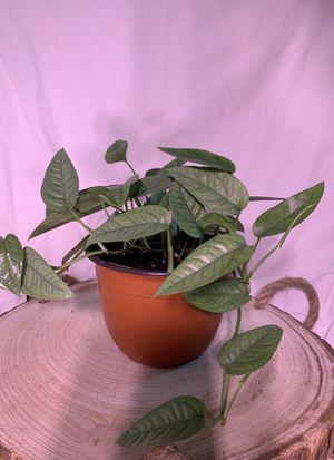 "6"" Cebu Blue Pothos Epipremnum pinnatum for Sale in Adelphi, MD"