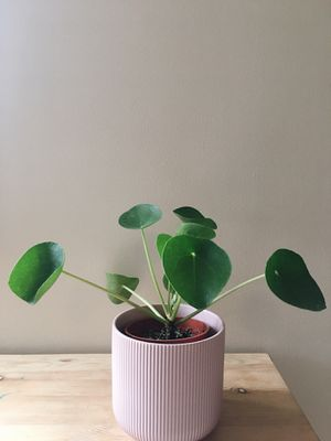 Pilea- Indoor plant for Sale in Vancouver, WA