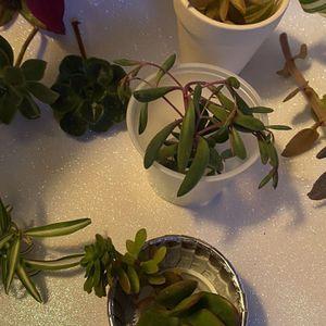 Succulent Cuttings 10 Different Plants for Sale in Santa Clara, CA