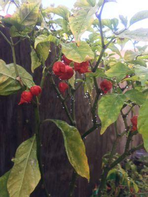Carolina reaper plant for Sale in Huntington Beach, CA