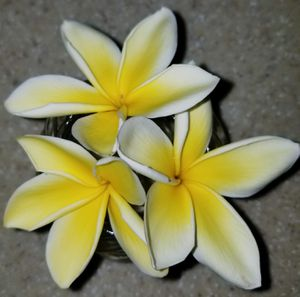 Flowering Yellow Plumeria almost 4' high. In 2 gal. bucket / pot for Sale in Brea, CA