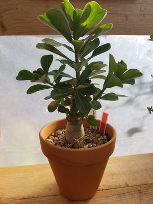 Beautiful desert rose plant with 12in pot.Red full flower. for Sale in Rockwall, TX
