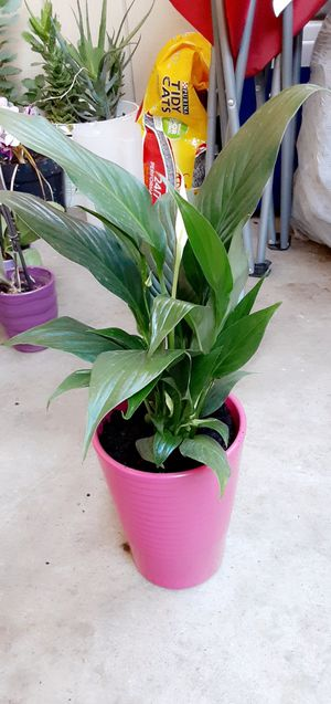 Lily plant for Sale in Hayward, CA