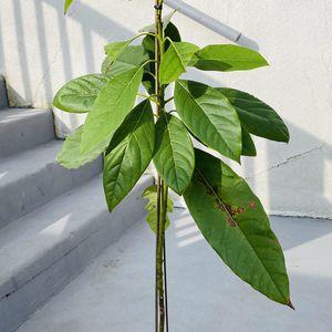 Avocado Plant In A One Gallon Nursery Pot for Sale in Arcadia, CA