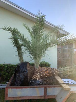 Palm tree , field grown for Sale in Miramar, FL