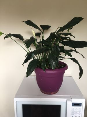 Peace Lily Plant for Sale in Hyattsville, MD