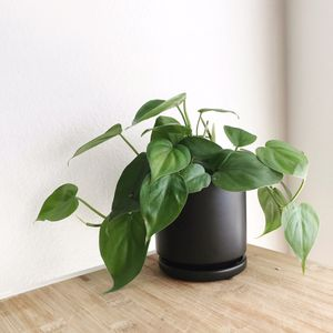 Philodendron in black matte pot with drainage for Sale in Buena Park, CA
