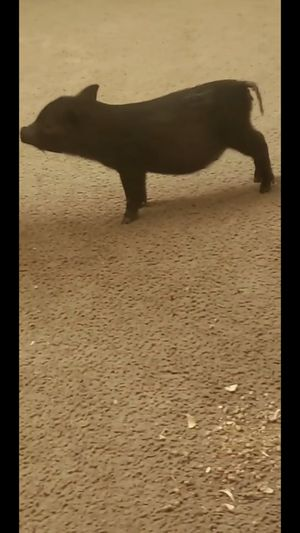 Pot belly pig for Sale in Indianapolis, IN