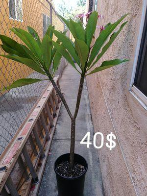 Plumeria. Planta. Hawaiian plant. for Sale in Los Angeles, CA
