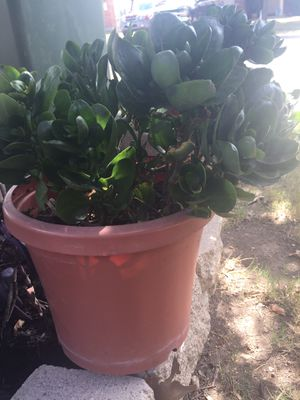 Kalanchoe (succulent) for $12. Buda, Tx for Sale in Buda, TX