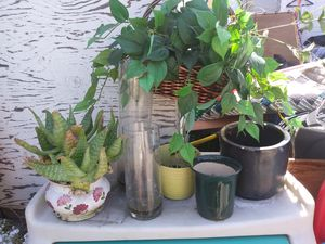 Pots and 2 plants for Sale in San Jose, CA