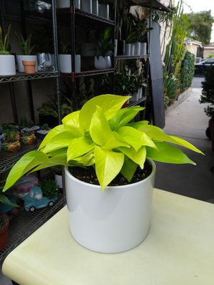 NEON POTHOS INDOOR PLANT for Sale in Paramount, CA