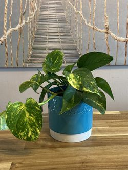 """Pothos """"Devils Ivy"""" in Cute Blue Planter for Sale in Aurora,  CO"""