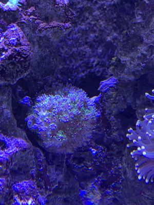 Golf Ball Sized Galaxea Coral for Sale in San Diego, CA