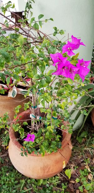 Bougainvillea Plant in Large Clay Pot for Sale in Hollywood, FL