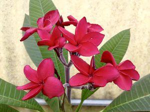 "Plumeria ""Irma Bryan"" for Sale in Davenport, FL"